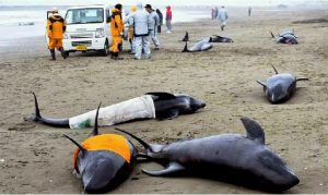 https://newspunch.com/dead-dolphins-in-fukushima-stranding-found-with-white-radiated-lungs/