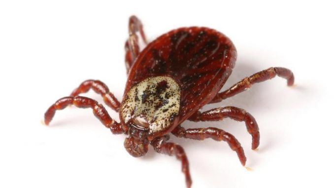 Blood-sucking tick carrying experimental disease escapes lab