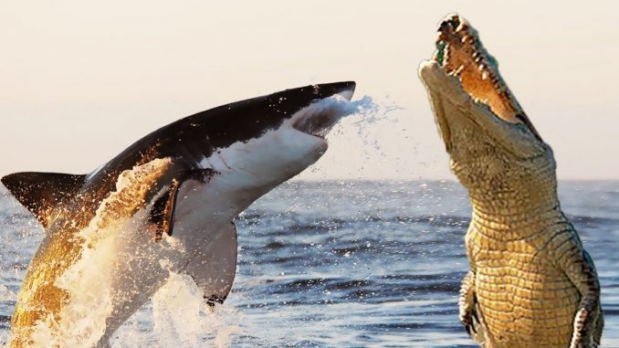 Throughout the ages humanity has debated who would win a fight between an alligator and a shark, and now U.S. researchers have finally provided an answer to the question.