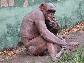 Scientists claims Humanzee - chim-human hybrid - has been successfully grown in a Florida lab