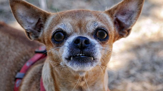South Carolina chihuahua owners are on edge as a dog serial killer targeting the breed continues a brutal killing spree across the state.