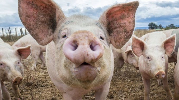 Yale scientists bring 200 decapitated pigs heads back to life
