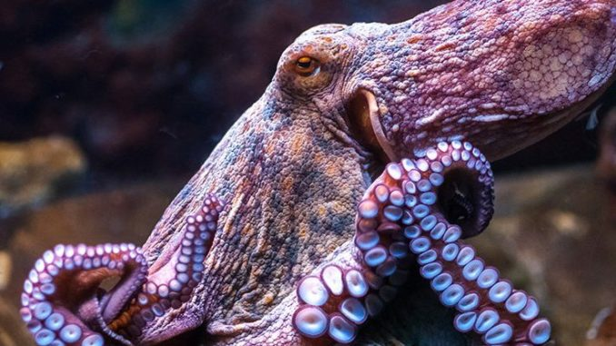 "Octopuses are aliens that evolved on another planet before arriving on Earth hundreds of millions of years ago as ""cryopreserved"" eggs via a process known as panspermia, according to radical research."