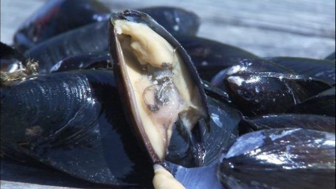 Mussels in Seattle test positive for heoin