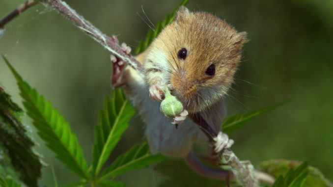 THC found to reverse ageing in mice