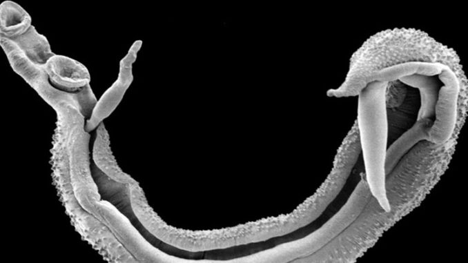 Deadly parasitic worm set to invade Europe due to uncontrolled migration