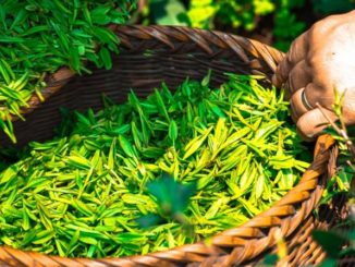 Nanoparticles in tea leaves kill lung cancer cells, study finds