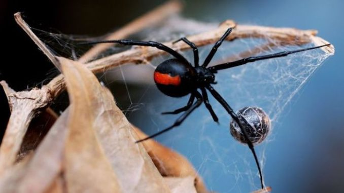 Medical scientists have made a stunning breakthrough in the fight to cure cancer after discovering that the venom from a deadly Australian spider can actually kill melanoma cells while leaving the surrounding healthy tissue unharmed, according to reports.