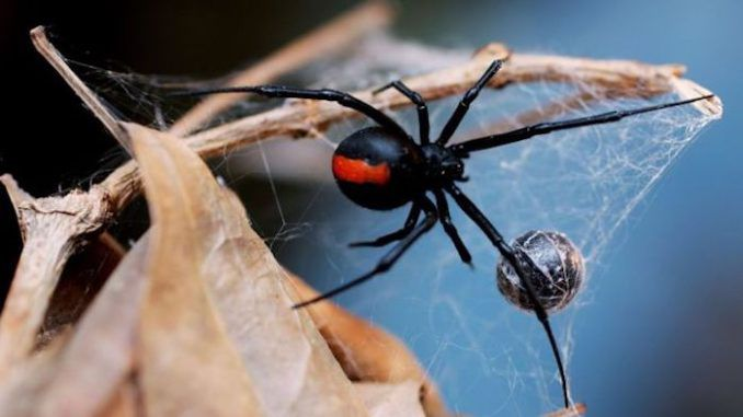 Medical scientistshave made a stunning breakthrough in the fight to cure cancer after discovering that the venom from a deadly Australianspider can actually kill melanomacells while leaving the surrounding healthy tissue unharmed, according to reports.
