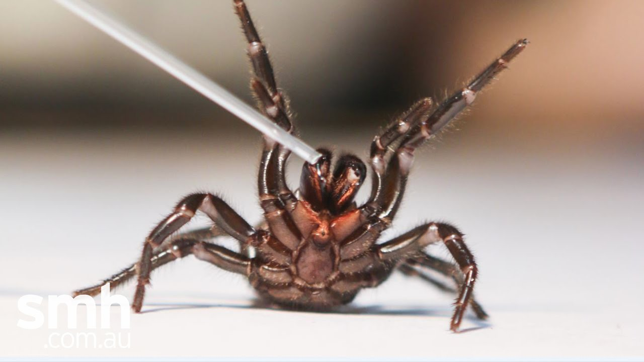 funnel-web-spider-cancer