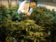 Two major companies, Monsanto and Bayer, have recently joined forces and seem to be plotting to take over the cannabis industry, creating a monopoly in the lucrative marijuana market.