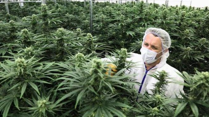 WHO set to reschedule cannabis for first time in history due to possible health benefits