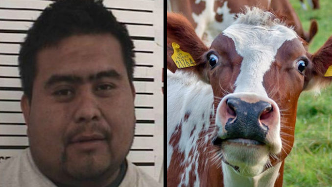 Illegal alien arrested for raping cow in U.S.
