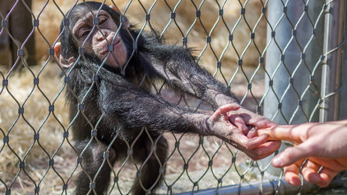 A leading primate scientist has claimed chimpanzee meat is being sold on market stalls in cities in the UK and across Europe after being smuggled from Africa.
