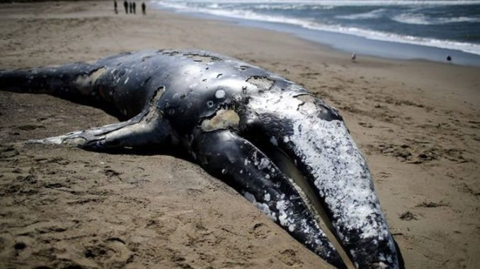 Scientists baffled as 70 dead whales wash-up on U.S. coastlines