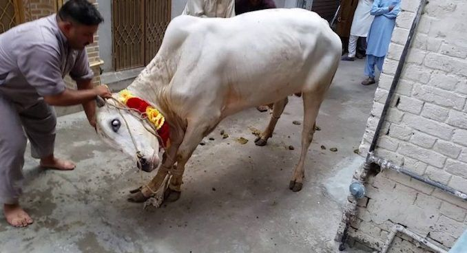 A Muslim cleric in East Java, Indonesia, was killed by a cow he was about to slaughter during the Islamic Eid festival.
