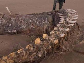Mystery is surrounding the skeleton of a mysterious sea creature that washed up on a Scottish beach during Storm Ciara on the weekend.