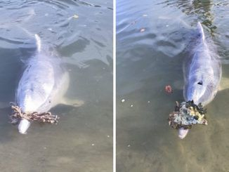 """Dolphins who frequent Australia's Tin Can Bay, a popular tourist spot, have started bringing """"gifts"""" onshore, apparently missing the visitors who would normally be lined up to lavish them with attention and feed them before the coronavirus pandemic."""