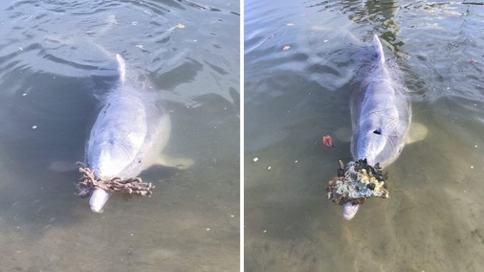 "Dolphins who frequent Australia's Tin Can Bay, a popular tourist spot, have started bringing ""gifts"" onshore, apparently missing the visitors who would normally be lined up to lavish them with attention and feed them before the coronavirus pandemic."